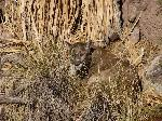 Mountain lion at Sonora Desert Museum